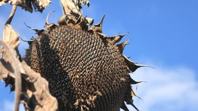 Dry sunflowers on the field in autumn. Harvest sunflower seeds in autumn. Dry stalk of a sunflower close-up view against. Dry sunflowers on the field in autumn stock footage
