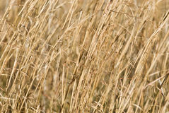 Dry Switch Grass Background Royalty Free Stock Photos