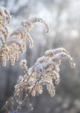 Dry tall grass covered with snow Royalty Free Stock Image