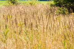 Dry and tall grass. In a clearing in the forest royalty free stock photo