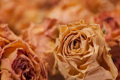 Dry tea roses closeup macro Royalty Free Stock Photos