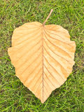 Dry teak leaf on green grass. Photograph by setup the teak leaf laying appropriately on green grass. imaging to removed some interference on the leaf Stock Photo