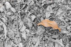 Dry teak leaves fallen on the ground. stock images