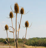Dry teasel flowers. Some dry teazzle flowers in natural ambiance stock photography