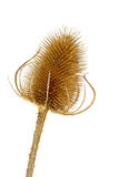Dry teasel head on white Stock Photo