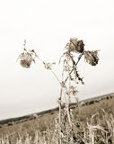 Dry thistle royalty free stock photography
