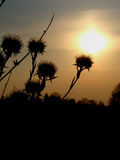 Dry thistle. And the sunset Stock Image