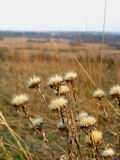 Dry thistle. In spring landscape Royalty Free Stock Photo