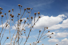 Dry thistle against the blue sky Royalty Free Stock Image