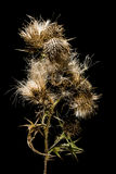 Dry thistle on black background. Still life. Dry thistle on black background Royalty Free Stock Photo