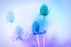 Dry thistle - burdock Royalty Free Stock Image
