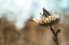 Dry thistle, common thistle, on autumn background. thistle flowers close-up macro in nature on a natural background, soft focus. stock photo