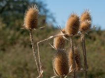 Dry thistle. Dry thistle at the end summer. Royalty Free Stock Photography