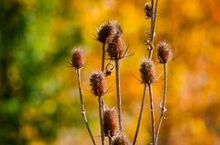 Dry thistle in the foliage stock image