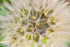 Dry thistle flower: detail.Apulia,Italy. Royalty Free Stock Photography