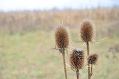 Dry thistle flower on the meadow Royalty Free Stock Photos