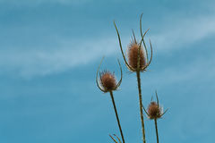 Dry thistle flowerhead. Whit blue sky Stock Photography