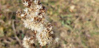 Dry thistle. Dry grass in the field stock photos