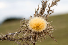 A dry thistle growing on the hill Stock Photography