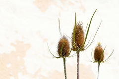 Dry thistle heads on abstract background Royalty Free Stock Photo