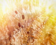 Dry thistle illuminated by sun rays Stock Photos