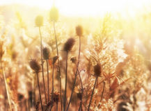 Dry Thistle In Meadow Stock Images