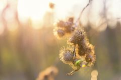 Dry thistle in the sunset in spring Stock Photos