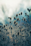 Dry thistle in winter autumn  field Stock Image