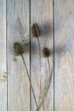 Dry thistles. Stock Photos