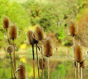 A Dry Thistles Gone to Seeds – Cirsium Vulgare Royalty Free Stock Images