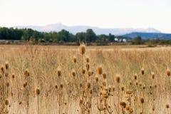 Dry Thistles on Landscape Defocused stock image
