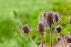 Dry thistles. Macro shot of some dried thistles in a green meadow Stock Image