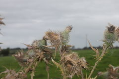 Dry thistles. Nature in autumn. Dry thorns of thistles in front og the cloudy sky stock photography