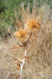 Dry thorn. Stock Images