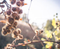 Dry thorn bush of thistles stock photography