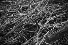 Dry thorn Royalty Free Stock Images