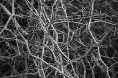 Dry thorn Stock Image
