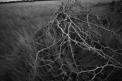 Dry thorn Royalty Free Stock Image