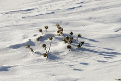 Dry thorn in the snow Stock Photography