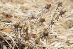 Dry thorny plant. In winter Stock Images