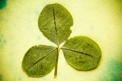 Dry three - leafed clover Stock Photo