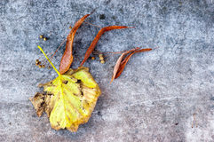 Dry Tilia Leaf Royalty Free Stock Image