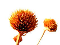 Dry Times. A beautiful dried flower from the Indian tropics Stock Photo