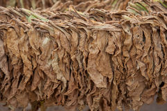 Dry tobacco stock image