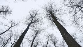 Dry tops nature of trees in the winter forest, landscape on the background of gray sky stock video