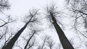 Dry tops of trees in the winter forest, landscape on the background nature of gray sky. Dry tops of trees in winter forest, landscape on the background nature of stock video