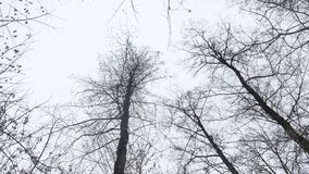 Dry tops of trees in the winter forest, nature landscape on the background of gray sky stock video