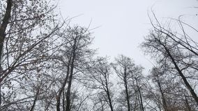 Dry tops of the trees in the winter forest, nature landscape on the background of gray sky. Dry tops of the trees in winter forest, nature landscape on the stock video footage