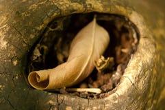 Dry torsive leaf. Brown dry torsive autumnal leaf Royalty Free Stock Image