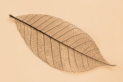 Dry transparent leaf Royalty Free Stock Image